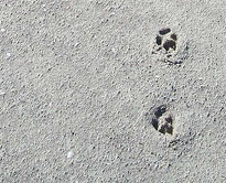 Desert fox footprints on the Namibian coast